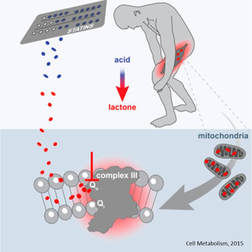 Mechanism of statin induced muscle pain