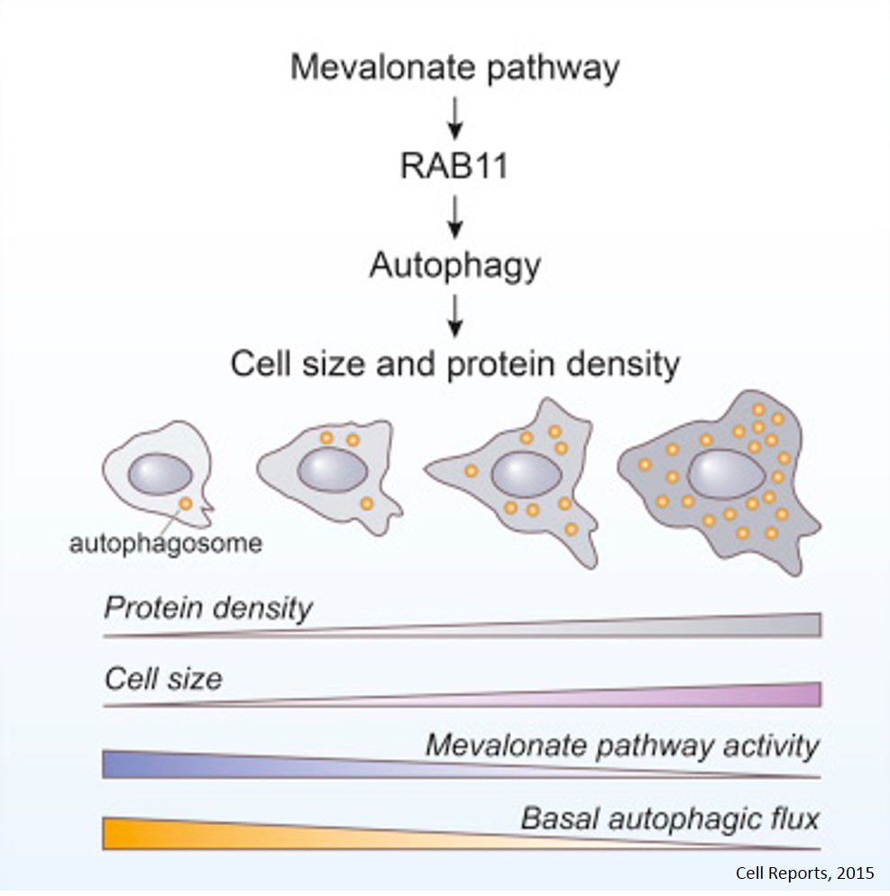 Regulation of cell size!