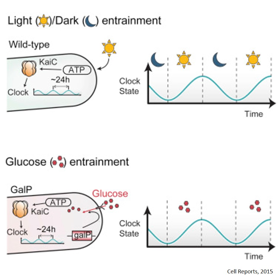 Metabolism controls circadian clock in cyanobacteria