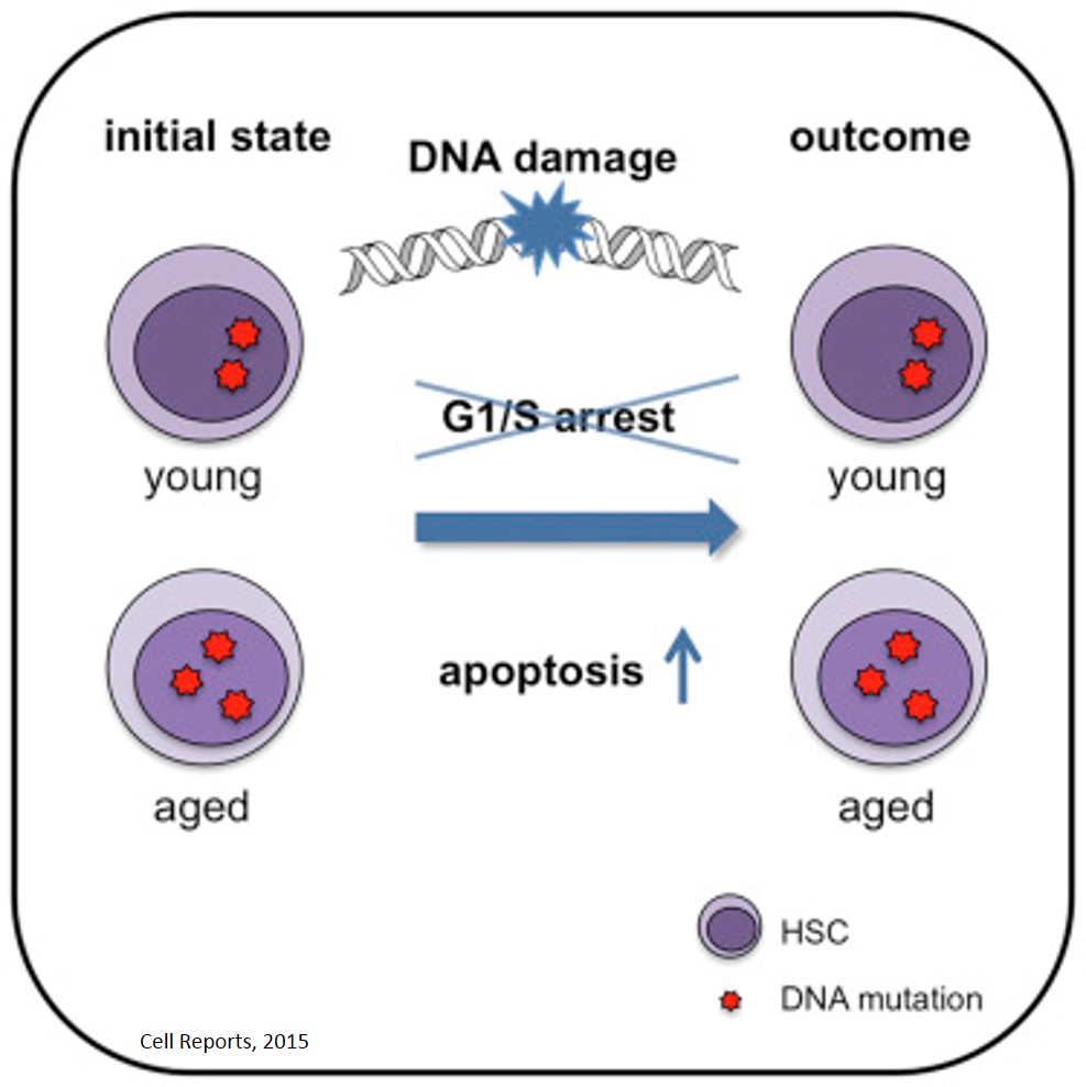 Protective mechanism against DNA damage in stem cells