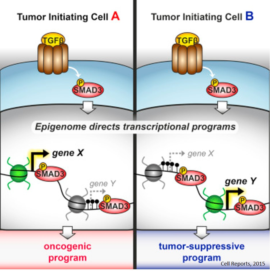 Role of epigenome on TGF-β/SMAD mediated Cancer