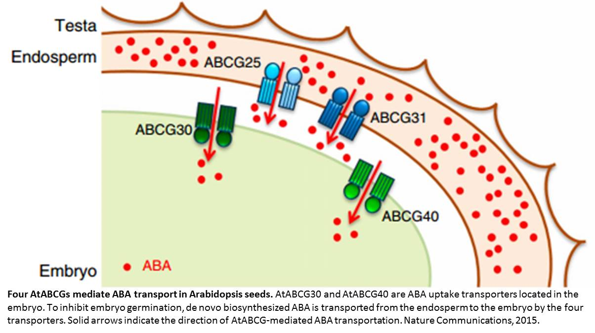 Mechanism of abscisic acid transport inside the plant embryos