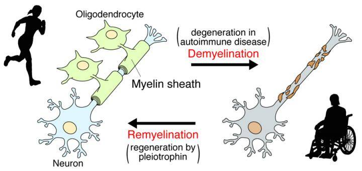 Molecular mechanisms involved in remyelination