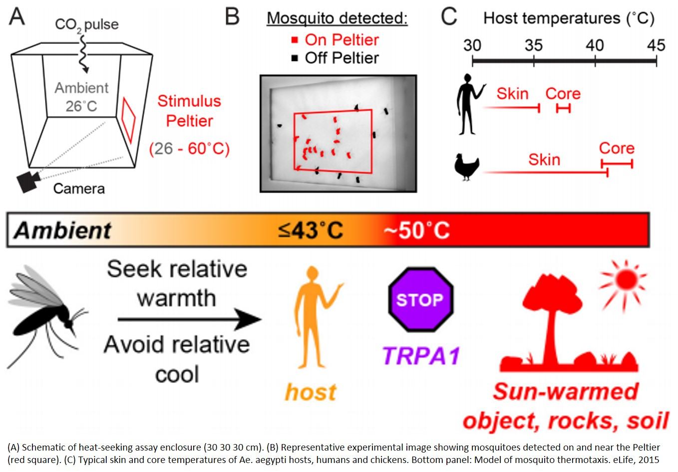 Mosquitoes are tuned to seek out temperatures that match warm-blooded hosts