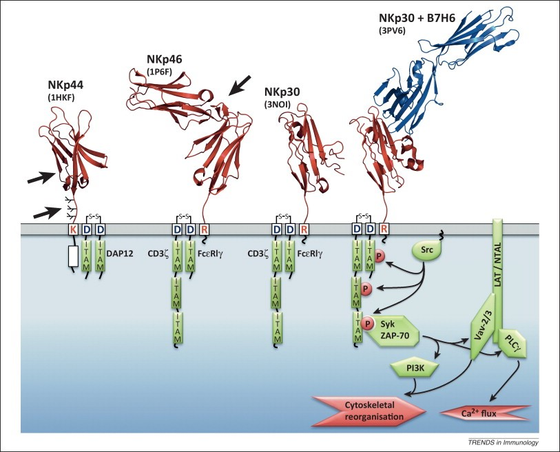 Diverse physiological role of natural killer cells in different tissues explained!
