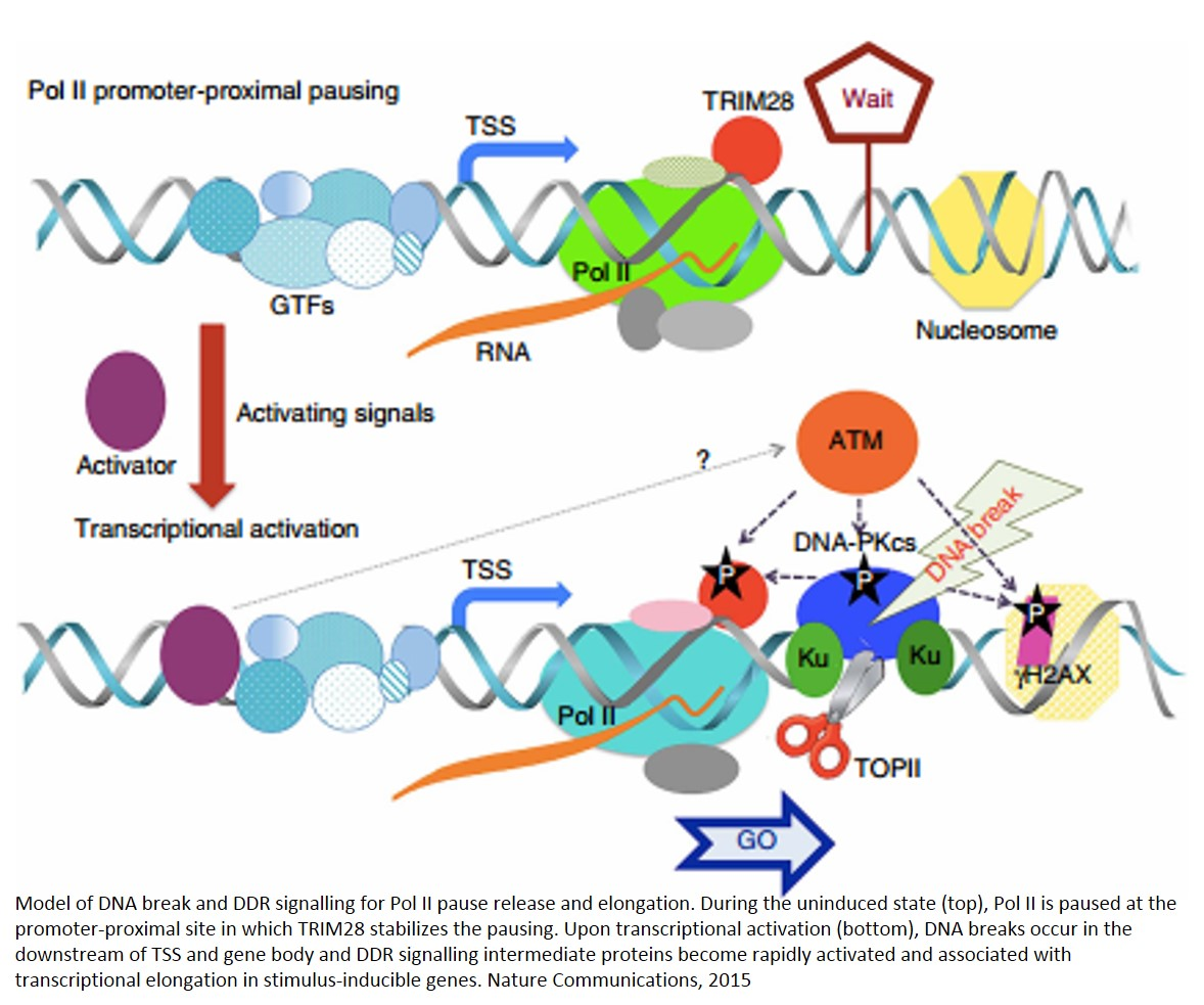 Transcriptional elongation requires DNA break-induced signalling