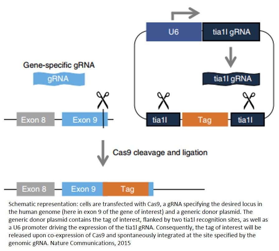 A generic strategy for CRISPR-Cas9-mediated gene tagging