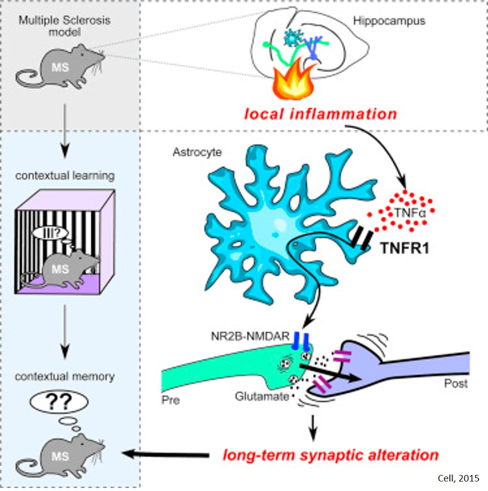 Mechanism of inflammation induced memory impairment