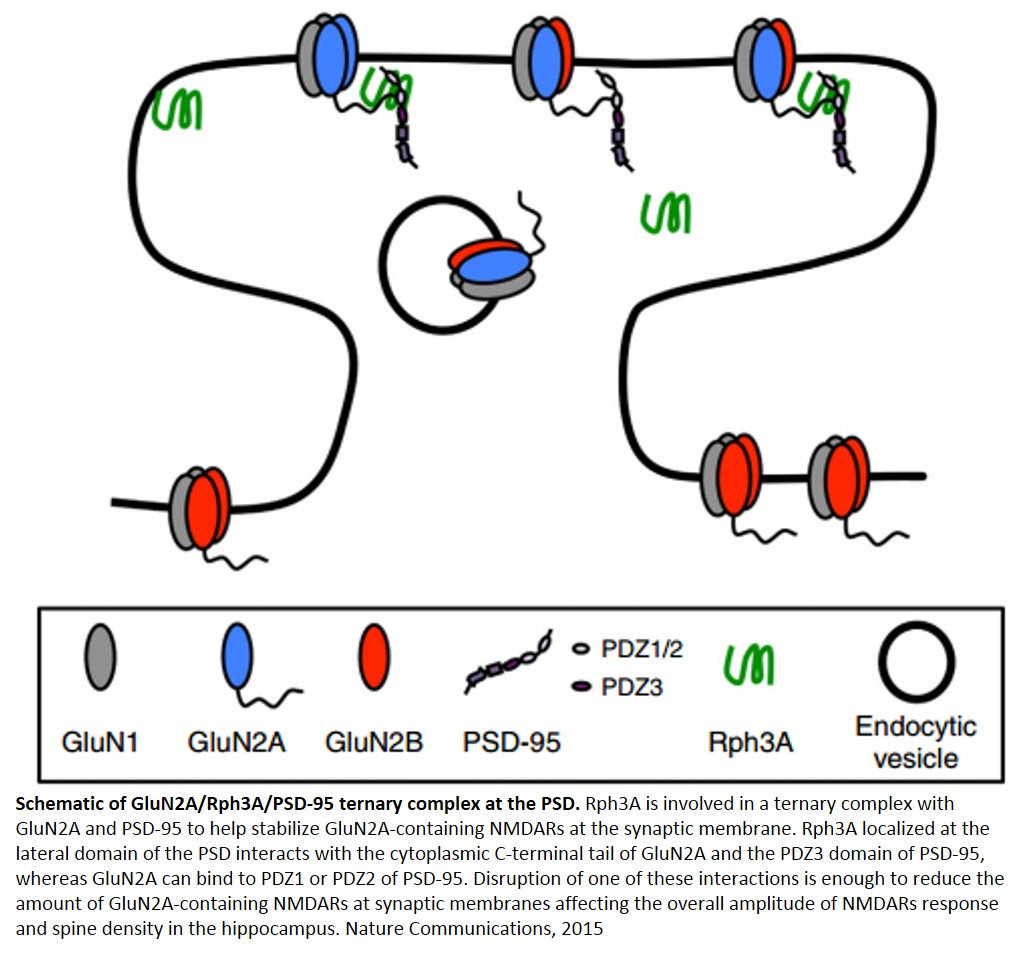 Mechanism of stabilization of glutamate receptors at postsynaptic membranes