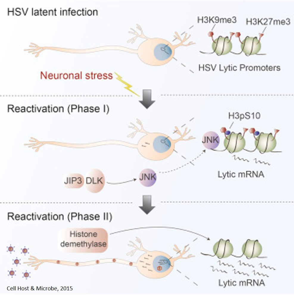 Mechanism of viral activation following neural stress