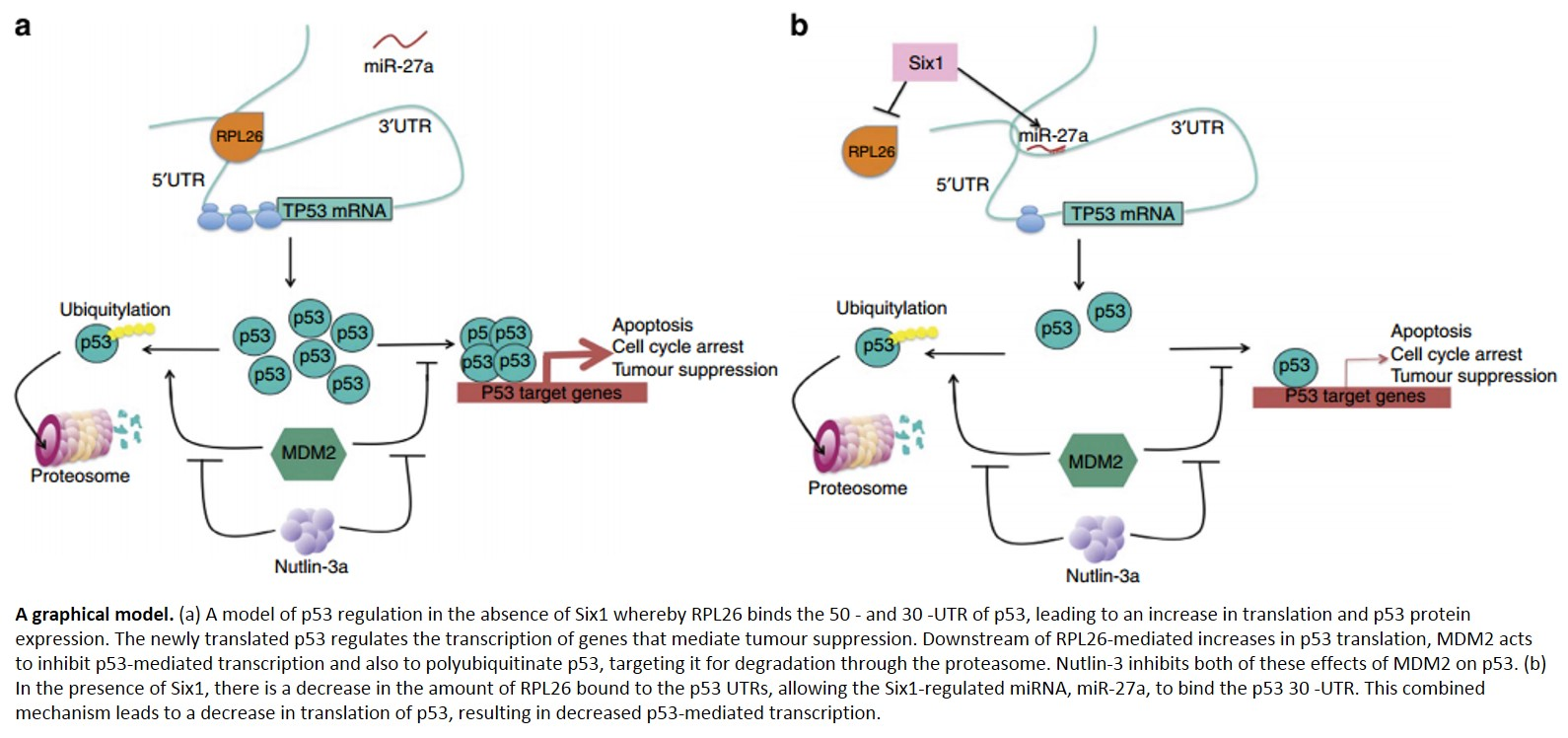 Alternate pathway to inhibit tumor suppressor P53 in cancer