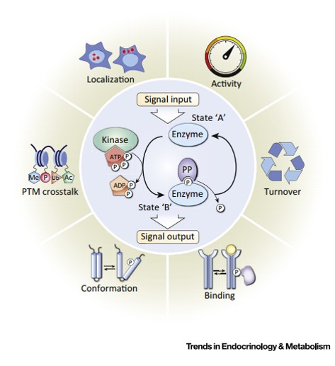 Protein Phosphorylation: A Major Switch Mechanism for Metabolic Regulation