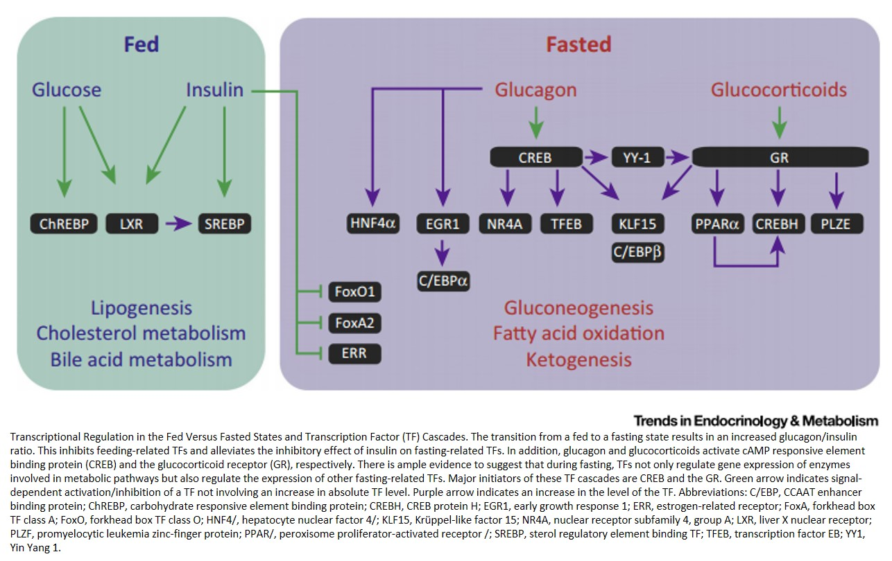 Transcriptional and Chromatin Regulation during Fasting - The Genomic Era