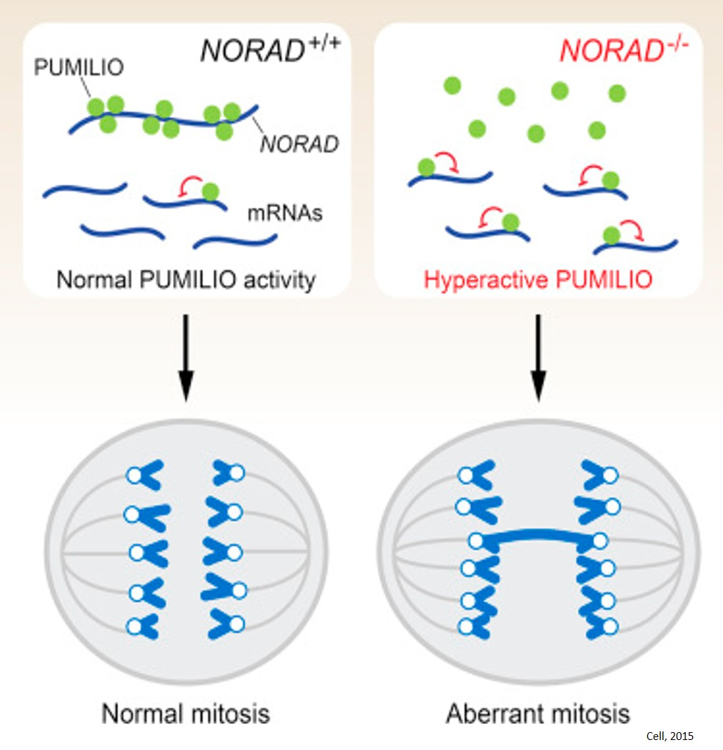 A new role for RNA in safeguarding human chromosome number