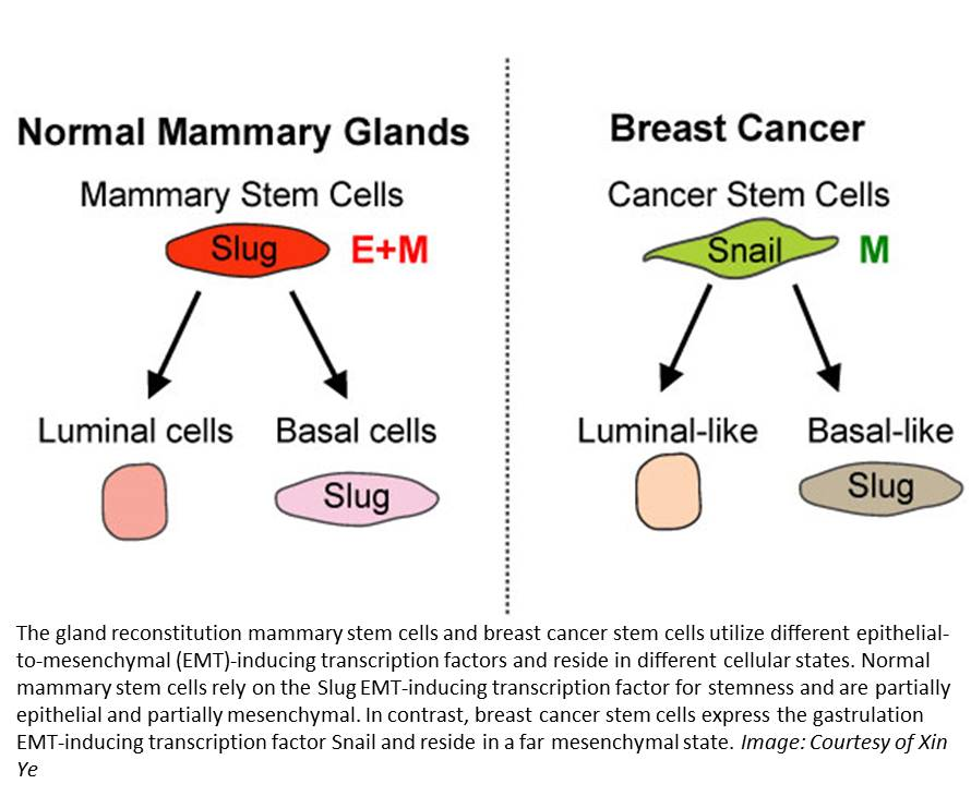 Cancer stem cells do not arise from normal stem cells!