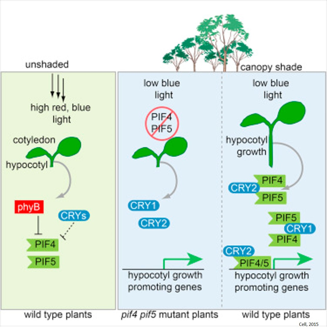 Plant Growth in Limiting Blue Light