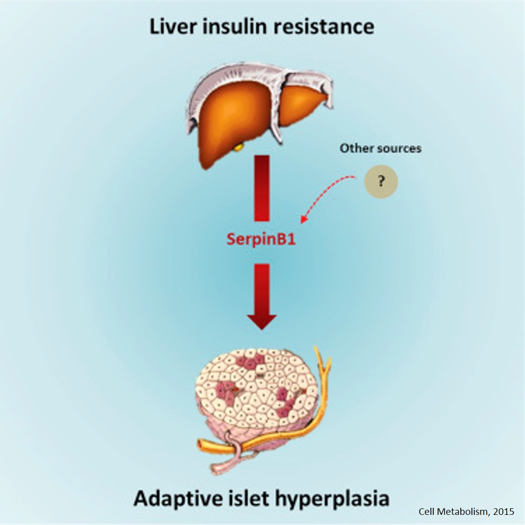 Liver derived secretory protein promotes pancreatic β cell proliferation