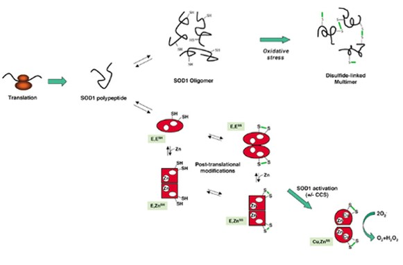 Mechanism of superoxide dismutase (SOD) mediated toxicity in ALS