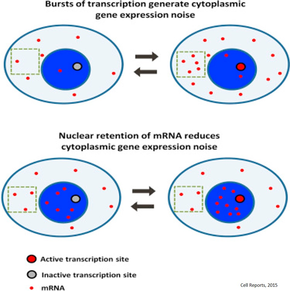 Nuclear Retention of mRNA in Mammalian Tissues