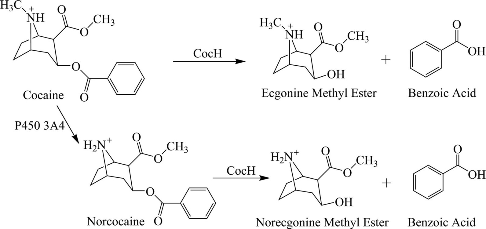 Long-acting cocaine hydrolase for addiction therapy