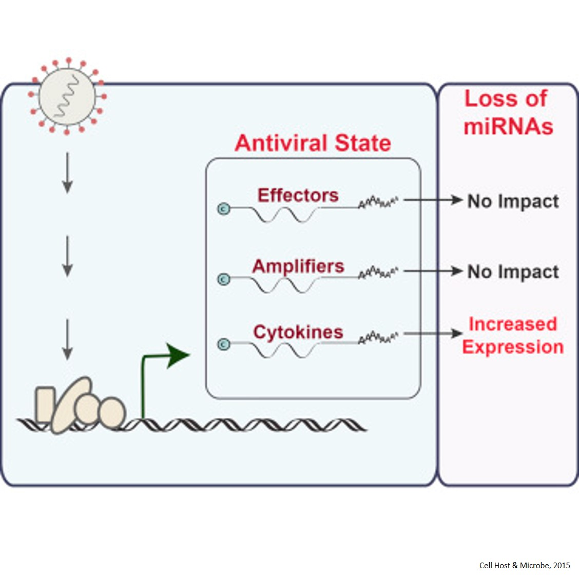 microRNA Function During Virus Infection
