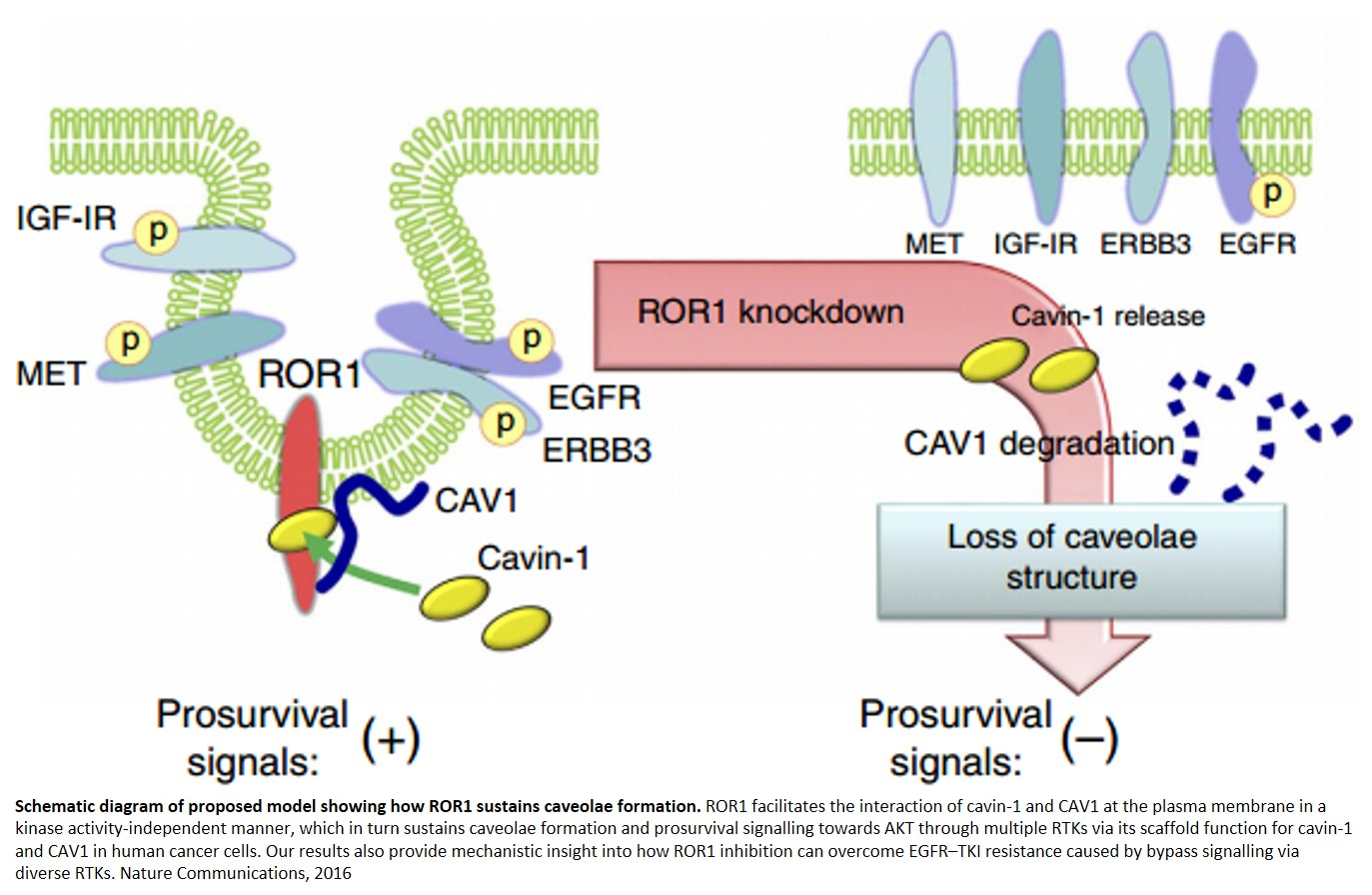 Scaffold function of an orphan receptor in drug resistance cancer