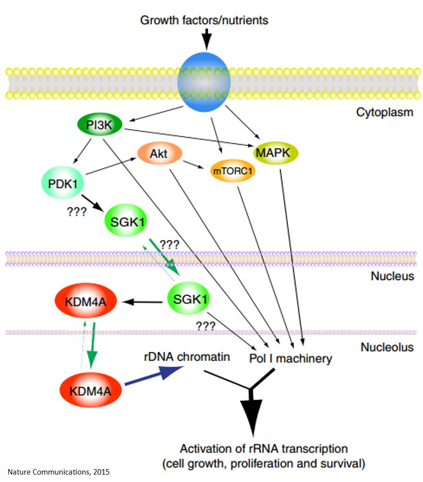 Linking nutrients and growth factors availability to ribosomal RNA transcription