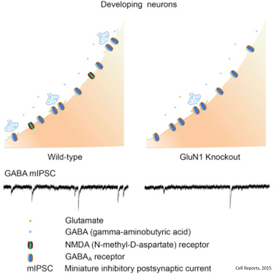 Crucial role for NMDARs in specifying the development of inhibitory synapses