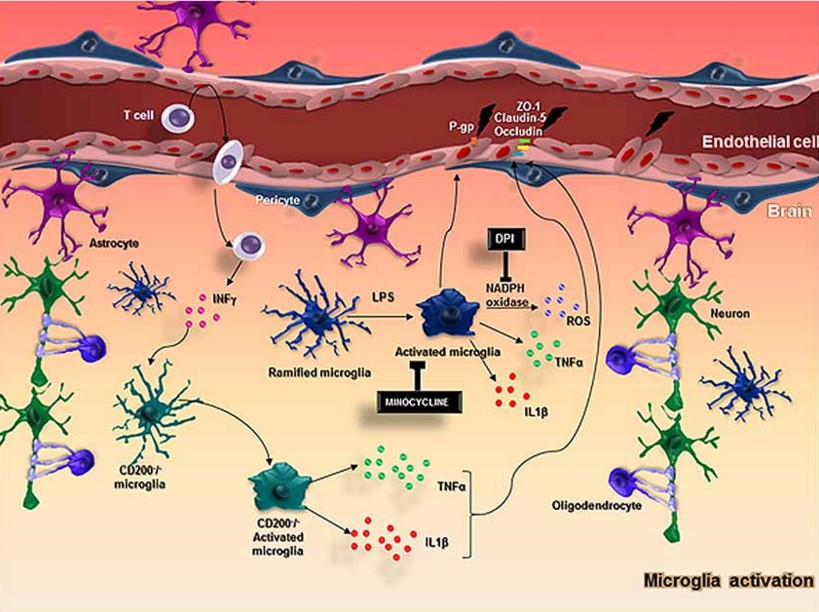 Brain's immune cells key to maintaining blood-brain barrier