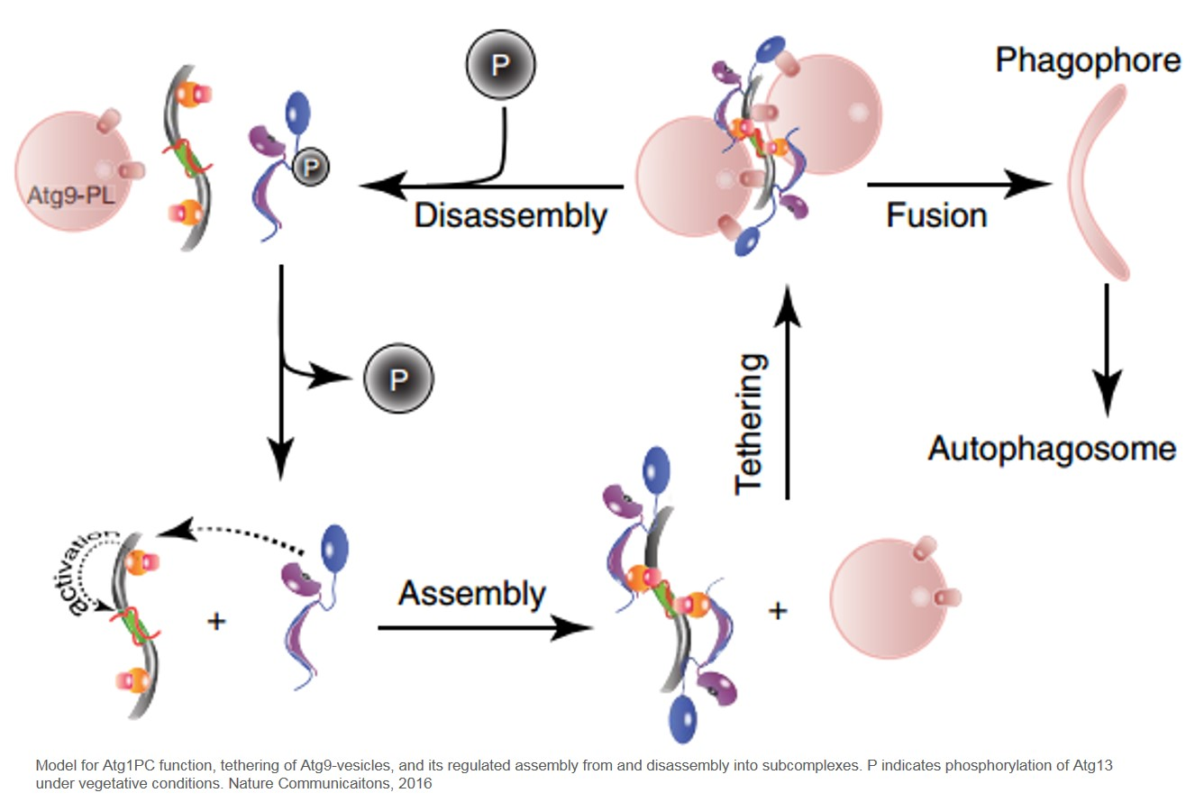 Autophagy initiation