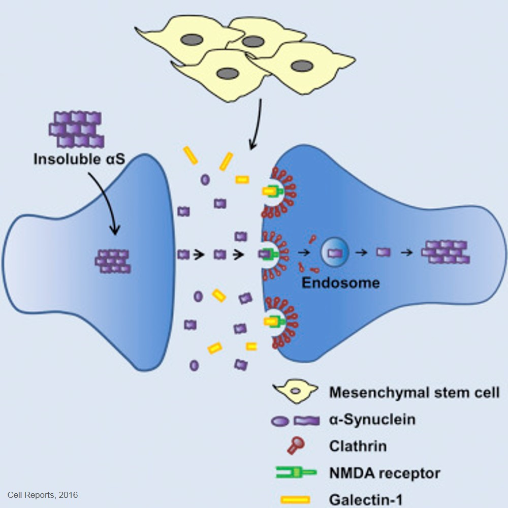 Mesenchymal Stem Cells Inhibit Transmission of α-Synuclein