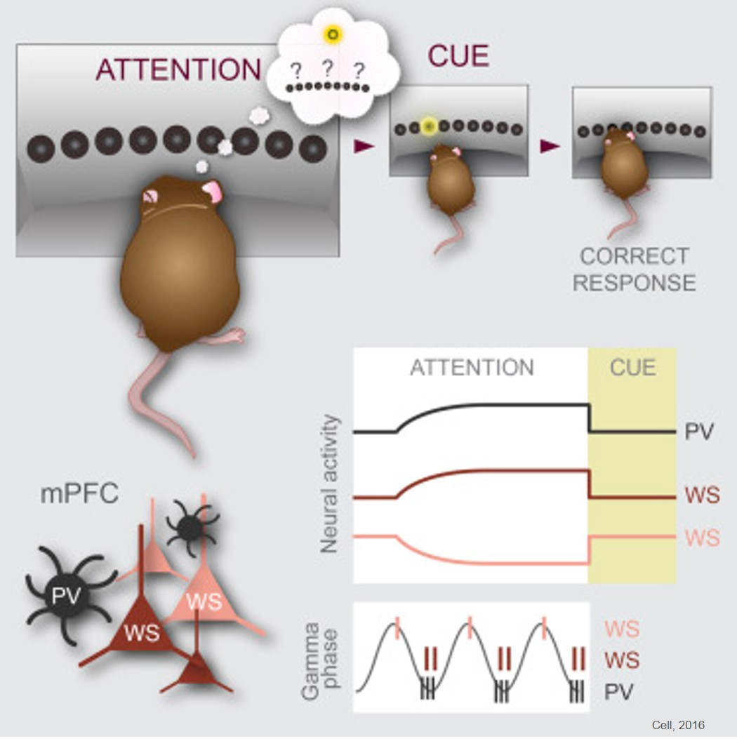Attention neuron type identified