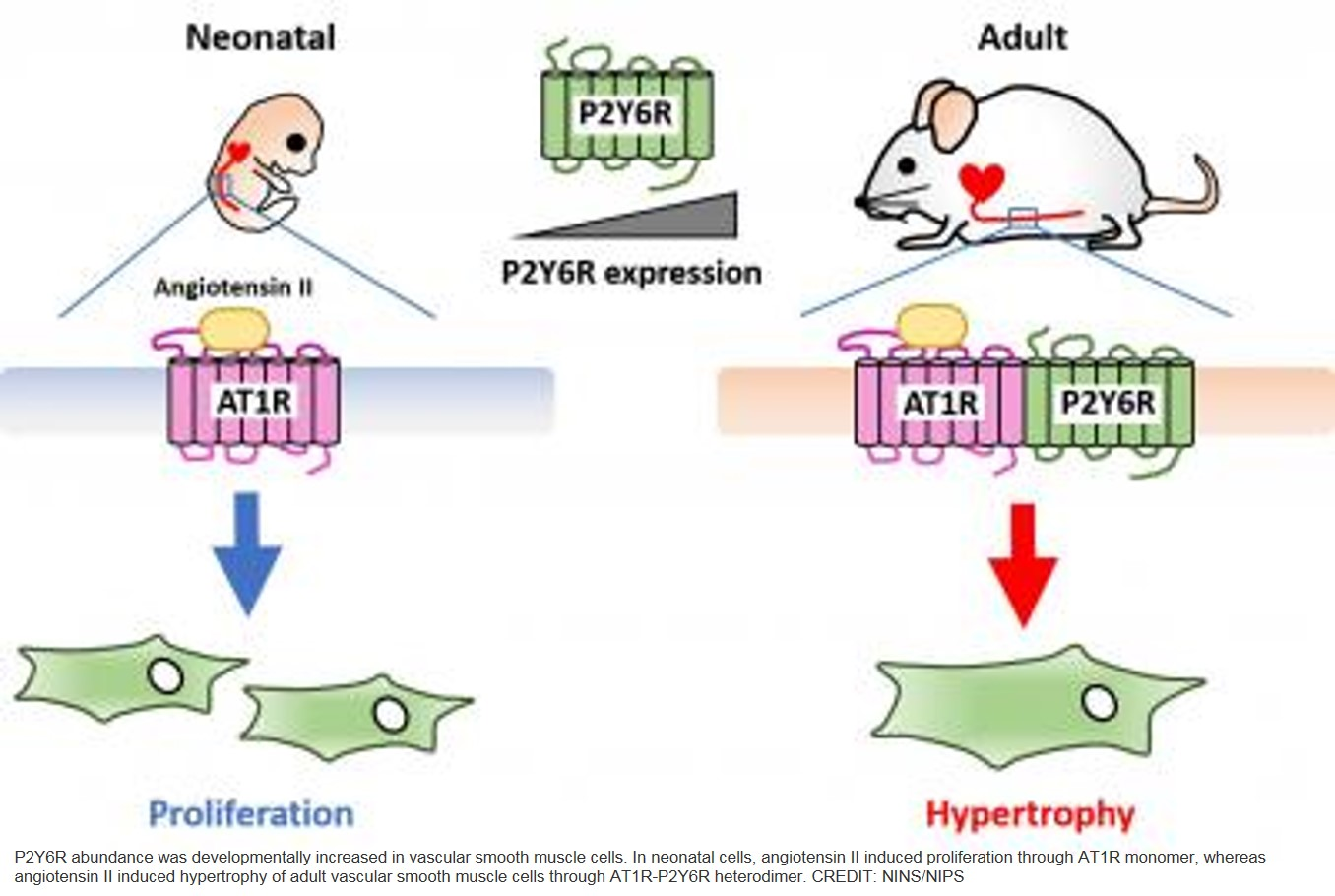 The age-related changes in receptor promotes hypertension