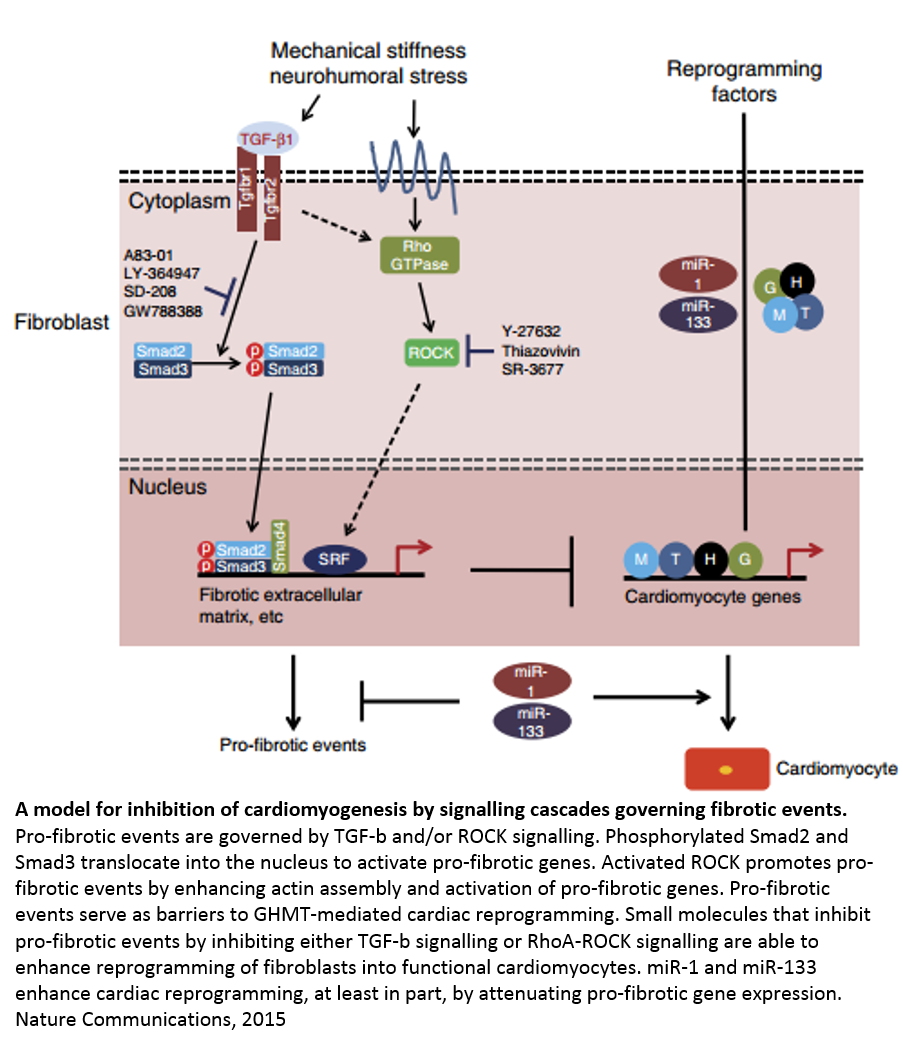 Mechanism of mitochondrial dysfunction and heart failure