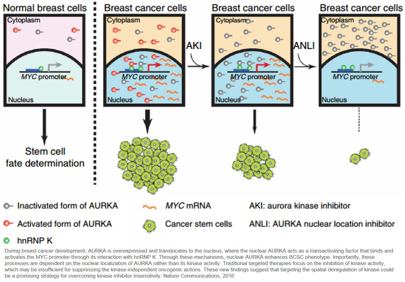Kinase acts like a transcription factor in breast cancer