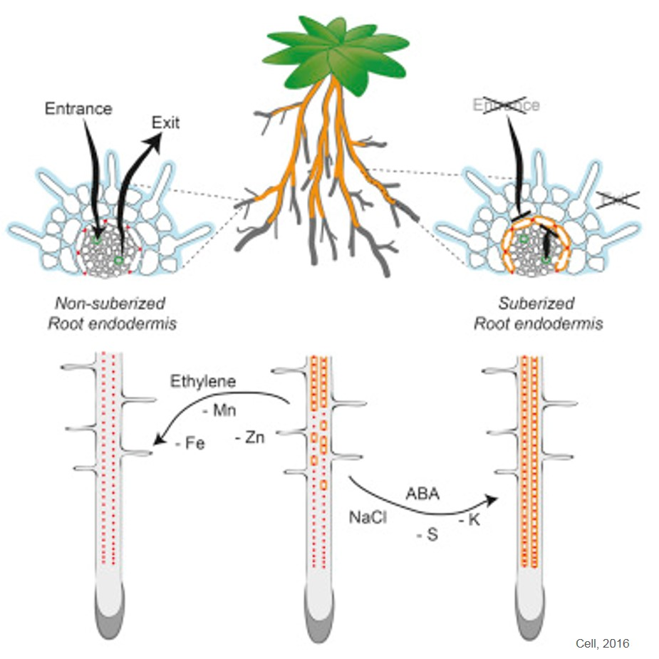 Mechanism of root adaptation during nutrient stress