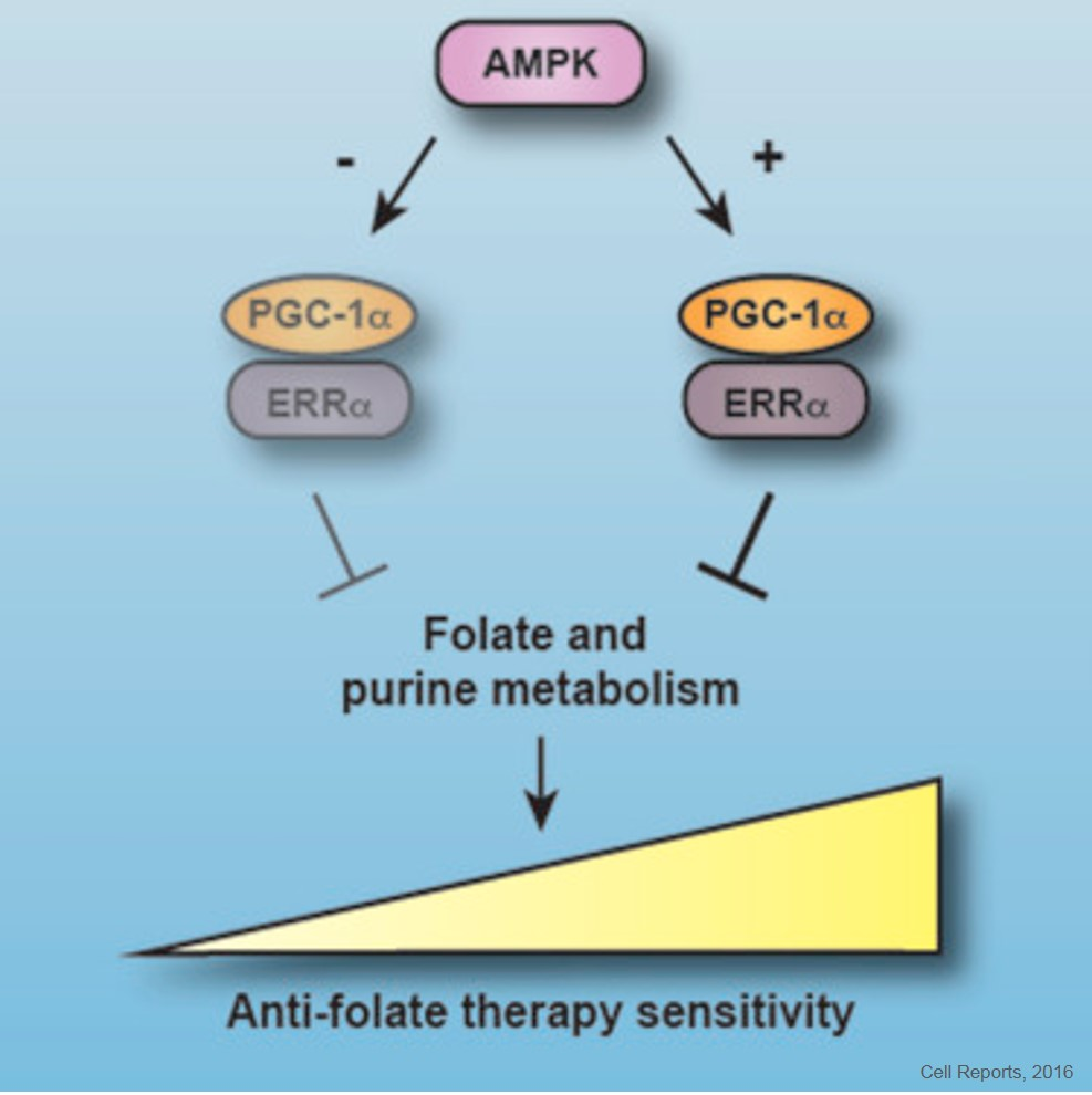 Promoting Sensitivity to Anti-folate Therapy in Breast Cancer
