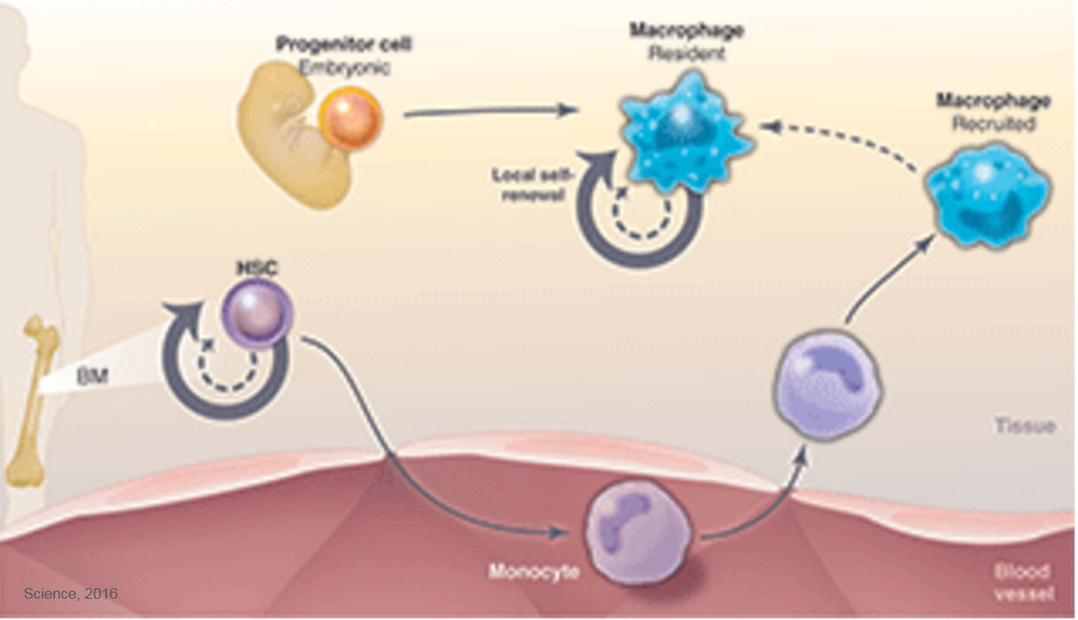 How immune cells can self-renew
