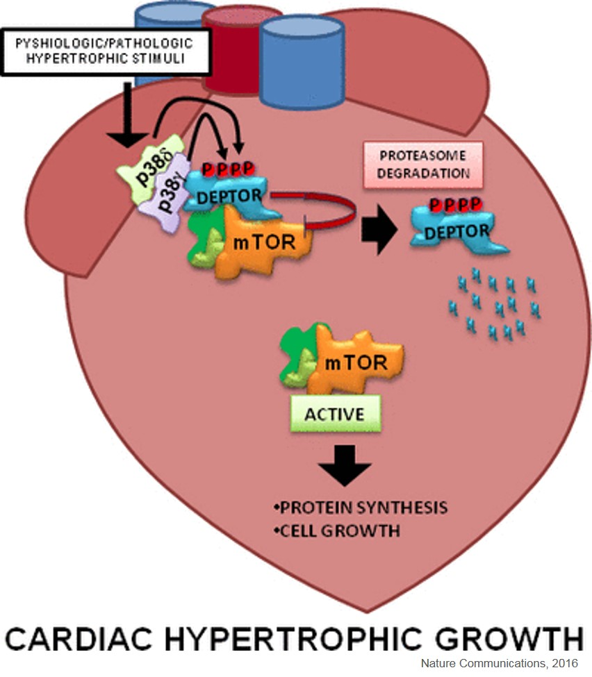 New understanding on cardiac hypertrophy
