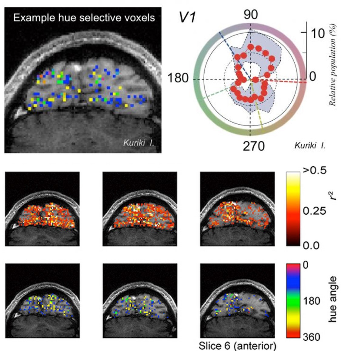 Human visual cortex holds neurons that selectively respond to intermediate colors