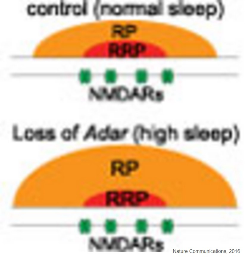 Molecular mechanism linking sleep and synaptic plasticity