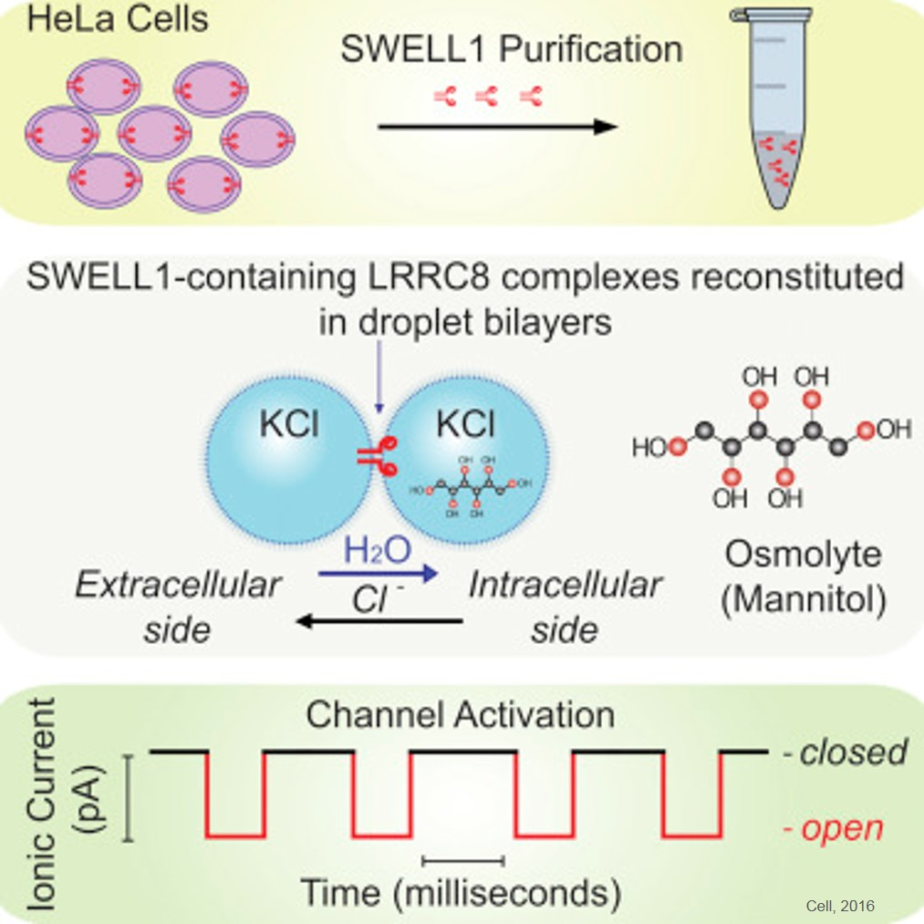 Mysterious 'relief valve' that protects cells from swelling