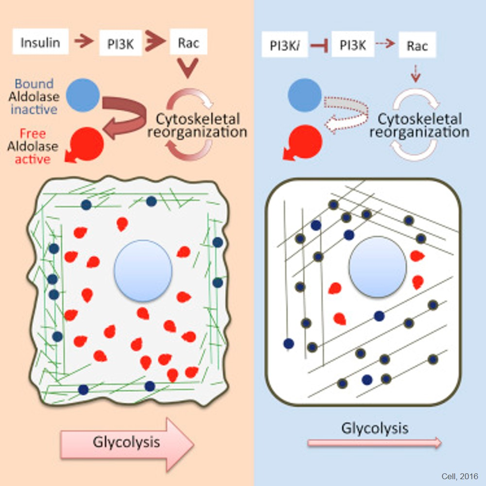 A glycolytic enzyme plays a major role in cancer