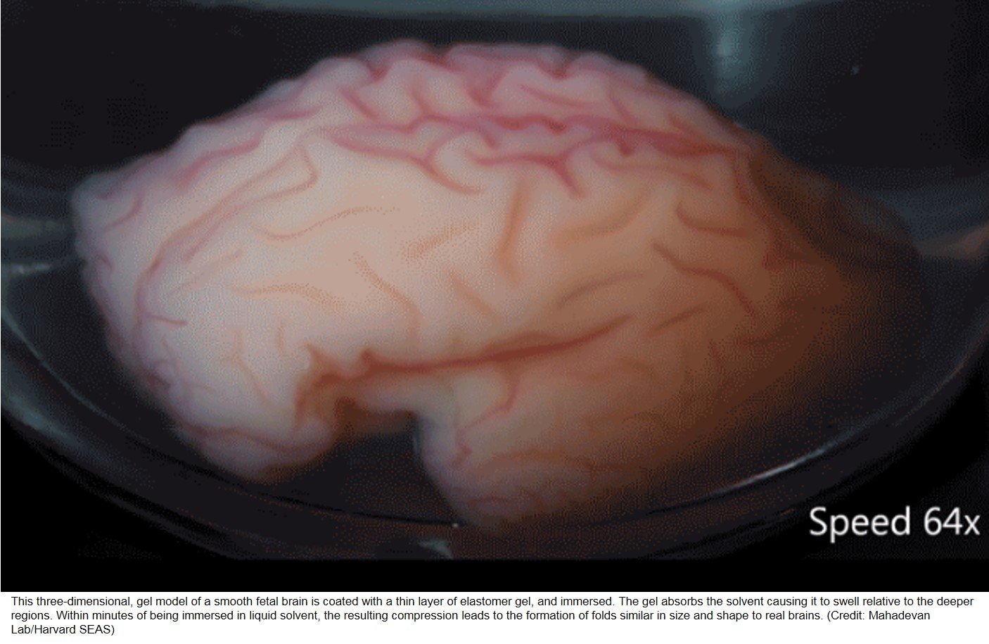 Human brain folding demonstrated in the lab!