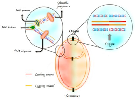 A 'gap in the armor' of DNA may allow enzyme to trigger cancer-causing mutations