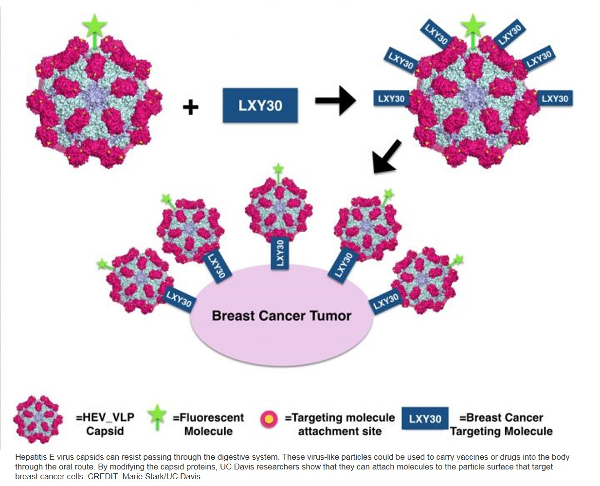 Hepatitis virus-like particles as potential cancer treatment