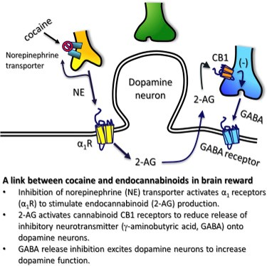 Regulation of cocaine reward system by endogenous cannabinoids