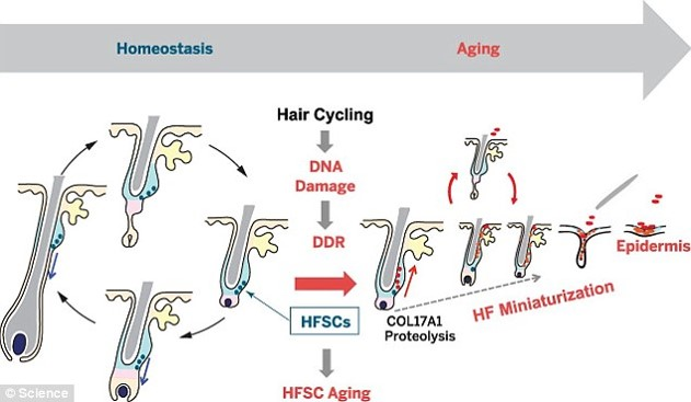 Hair thinning by stem cell loss