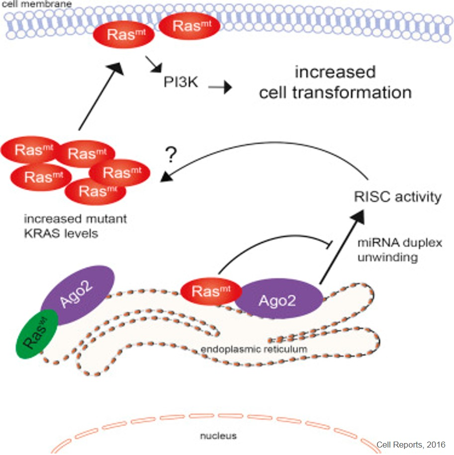 KRAS interaction with a protein may lead to cancer