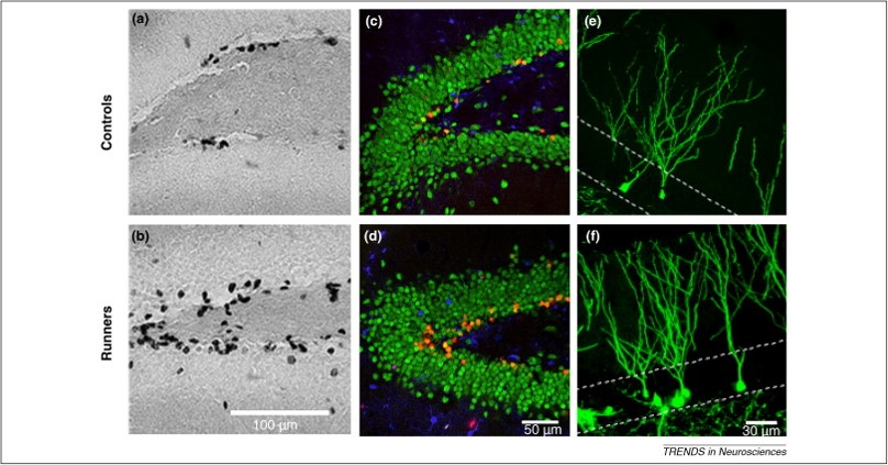 Sustained aerobic exercise increases adult hippocampal neurogenesis